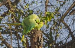 Поднял окружённый длиннохвостый попугай (ожереловый попугай Krameri) Стоковые Изображения
