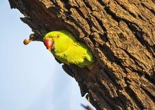 Поднял окружённый длиннохвостый попугай (ожереловый попугай Krameri) Стоковое Фото