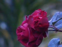 Подняло, возможно ‹the†большинств красивый цветок в природе Стоковое фото RF