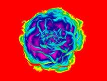 Подняло - влияние радуги Стоковое фото RF