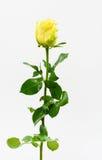поднял одиночный желтый цвет стоковое фото rf