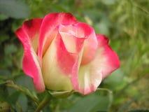 Поднял ферзь цветков Фото красивого подняло Стоковая Фотография RF