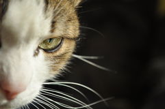 Половина возглавила кота на черной предпосылке Стоковое Изображение RF