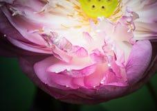 Половина открытого цветка лотоса Стоковые Изображения