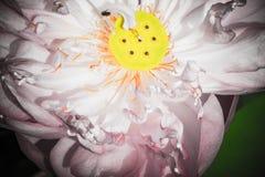 Половина открытого цветка лотоса Стоковое Изображение RF