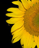 Половина солнцецвета на темной предпосылке Стоковое фото RF