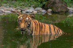 Половина тигра Бенгалии (пантеры Тигра) погрузила в воду в болоте стоковая фотография rf