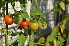 Половинные зрелые томаты Стоковая Фотография RF