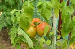 Половинные зрелые томаты Стоковые Изображения