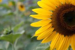 половинный солнцецвет Стоковые Изображения