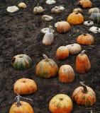 Половины отрезка тыкв осенью в поле для компоста Стоковые Изображения