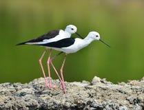 подогнали вода ходулочника himantopus птицы, котор черная общяя Стоковые Фото