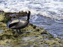подогнали вода ходулочника himantopus птицы, котор черная общяя Стоковые Изображения