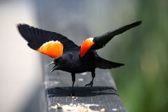 подогнали красный цвет птицы, котор черный Стоковая Фотография RF