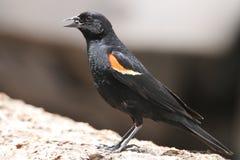 подогнали красный цвет птицы, котор черный Стоковые Фотографии RF