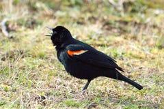 подогнали красный цвет птицы, котор черный Стоковое фото RF