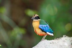 Подогнали синью, который птица Pitta [granatina Pitta] Стоковое Изображение RF