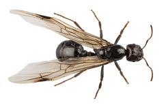 Подогнали чернотой, который lasius Нигера вида муравея сада стоковые фото