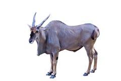 Положение антилопы Eland Стоковые Фотографии RF