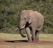 Положение африканского слона Стоковое фото RF