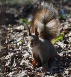 Положение белки красное милое на лесе весны Стоковые Изображения