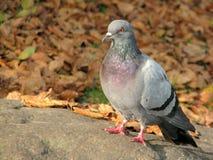 Положение голубя Стоковое Фото