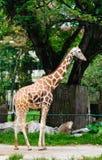 Положение жирафа стоковая фотография rf