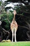 Положение жирафа Стоковые Изображения RF