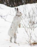 Положение зайцев Snowshoe Стоковые Изображения