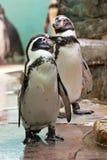 Положение и взгляды пингвина Гумбольдта Стоковые Изображения
