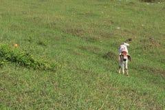 Положение коровы икры Стоковое Изображение RF