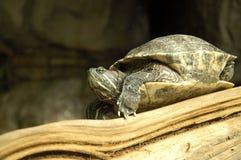 Положение о намерениях черепахи стоковые изображения