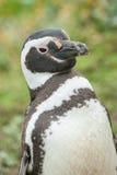 Положение пингвина Стоковая Фотография RF