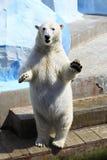 Положение полярного медведя Стоковое фото RF