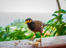 Положение птицы Myna Общее myna, индийское myna, Mynah (Acridothere Стоковая Фотография RF