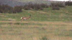 Положение самца оленя Pronghorn Стоковые Изображения