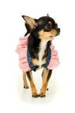 Положение собаки чихуахуа Стоковая Фотография