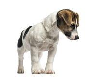 Положение терьера Джека Рассела щенка, 4 месяца старого Стоковые Фотографии RF