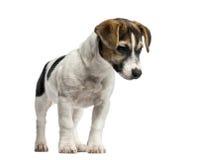 Положение терьера Джека Рассела щенка, 4 месяца старого Стоковая Фотография RF
