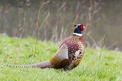 Положение фазана 1581 мужчины Стоковое Изображение RF