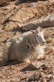 Положенная в постель коза горы стоковые фотографии rf
