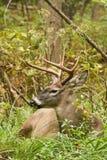 Положенная в постель колейность падения самца оленя оленей Whitetail Стоковое Изображение RF