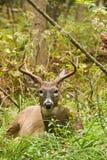 Положенная в постель колейность падения самца оленя оленей Whitetail Стоковые Изображения RF