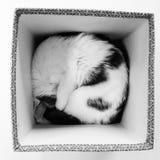 Положенный в коробку кот спать Стоковое Изображение RF