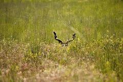 положенный в постель осляк оленей самеца оленя Стоковые Изображения