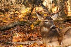 Положенный в постель самец оленя оленей Whitetail Стоковая Фотография
