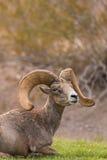 Положенный в постель Ram снежных баранов пустыни Стоковая Фотография RF