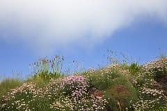 Подорожник и хозяйственность, предпосылка полевого цветка, Корнуолл, Англия стоковое изображение rf