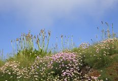 Подорожник и хозяйственность, предпосылка полевого цветка, Корнуолл, Англия стоковая фотография