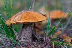 Подосиновик апельсин-крышки гриба леса в траве Стоковые Фото